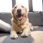 Como ter uma casa sem cheiro de cachorro?